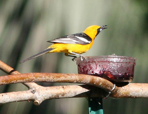 A male hooded oriole enjoys grape jelly at Manfred Kusch's bird oasis along Putah Creek. Jean Jackman/Courtesy photo