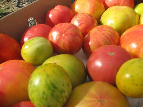 These heirloom tomatoes are just some of the many varieties celebrated at the Capay Tomato Festival, planned July 9 this year. Courtesy photo