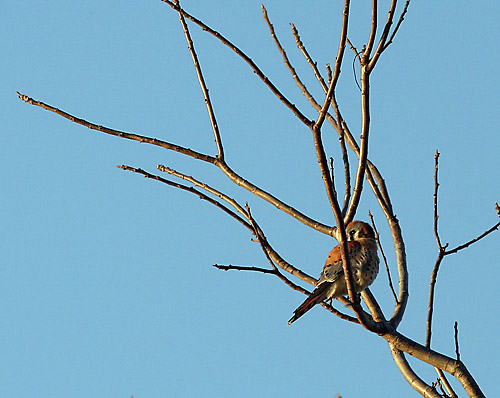An American kestrel  perches at the Wildhorse Bufferland. Numerous species may be seen at this 38-acre area of open space bordering the Wildhorse Golf Course. Jean Jackman/Courtesy photo