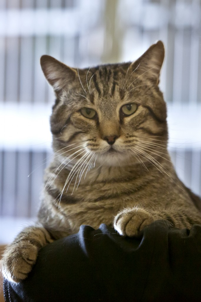 Bruno is a 4-year-old neutered male brown tabby cat. Sue Cockrell/Enterprise photo