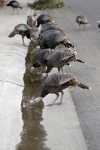 An ever-growing gang of turkeys take advantage of sprinkler water run off to quench their thirst. Sue Cockrell/Enterprise photo