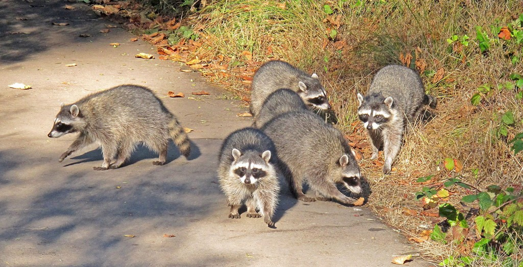 Raccoons are good for more than just making mischief in your trash. According to UC Davis scientists, the discovery of rare brain tumors in raccoons in Northern California and Oregon may have lead to a better understanding of how viruses can cause cancer in animals and humans. K. Schneider/Courtesy photo