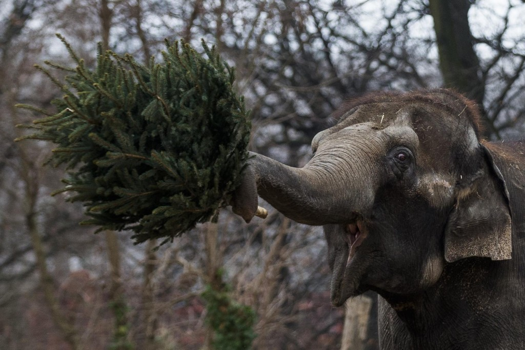 An elephant  picks up a christmas tree Friday at the Berlin Zoo at the annual feeding of christmas trees.  AP photo