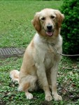 A new study from the UC Davis School of Veterinary Medicine indicates that neutering at any age impacts health risks for golden retriever dogs. Hiroki Nakamura/Courtesy photo