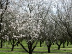 Almonds need some winter chilling, but bloom very early. That makes their suitable growing region pretty narrow. Late frosts damage blossoms further north; insufficient chilling hours prevent flower development further south. The Sacramento Valley is just right. So we produce most of the almonds in the world!