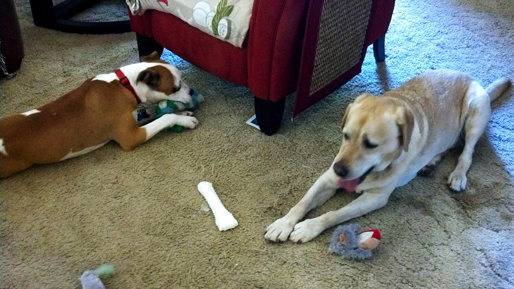 "Jake, right, and his newly adopted companion, JoJo, enjoy toys together. Val Davis is delighted with how well JoJo transitioned into her new family and writes, ""Now I have two love bugs."" Courtesy photo"